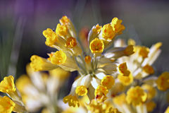 Primula veris (cowslip, common cowslip) in garden Stock Photos