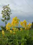 Primula Veris delle primaverine Fotografia Stock