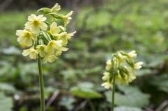 Primula veris elatior in bloom Stock Photo