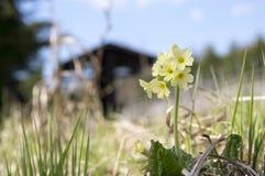 Primula veris elatior in bloom Stock Images
