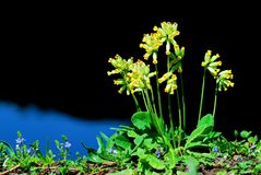Primula veris flowers Stock Photography
