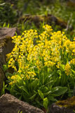 Primula veris. Flowers of Primula veris in the flowerbed on a sunny day stock image