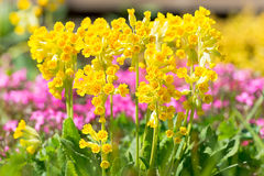 Primula veris in garden Royalty Free Stock Photo