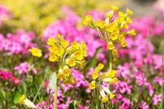 Primula veris in garden Royalty Free Stock Photos
