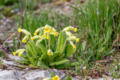 Primula veris Stock Photography