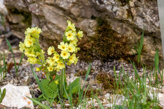 Primula veris Stock Photo