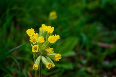 Primula Veris lub Cowslip w ogr?dzie zdjęcia stock
