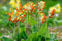 Primula Veris plants or Cowslip. Red-flowered Primula Veris plants or Cowslip, Sweden Stock Images