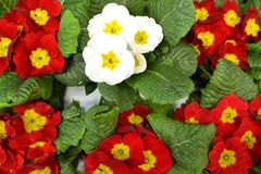 Primula vernus of red and white colors, colorful primula background. Springtime holiday. Easter background. Primula vernus of red and white colors, colorful royalty free stock photography