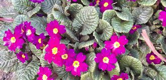 Amazing Primula. Primula is a very unpretentious flower, easy to cultivate, nurtured and multiplied, offering a delightful variety of color combinations stock photos