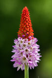 Primula vialii Royalty Free Stock Photo