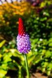 Close up Orchid Primrose Boken Background Vertical stock images