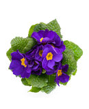 Primula violeta Fotos de Stock