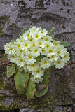 Primula vulgari Stock Photography