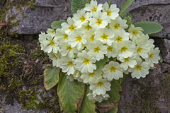 Primula vulgari Stock Photo