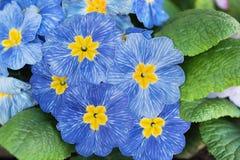 Primula vulgaris με τα μπλε και άσπρα λωρίδες Στοκ φωτογραφίες με δικαίωμα ελεύθερης χρήσης