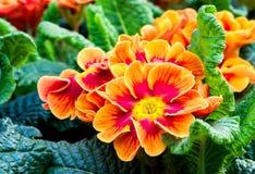 Primula Vulgaris Стоковая Фотография RF