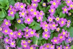 Primula vulgaris Fotos de archivo libres de regalías