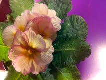Primula vulgaris Imágenes de archivo libres de regalías