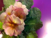 Primula vulgaris Fotografia Stock