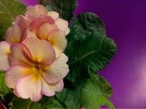 Primula vulgaris Immagine Stock Libera da Diritti
