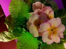Primula vulgaris Imagen de archivo libre de regalías