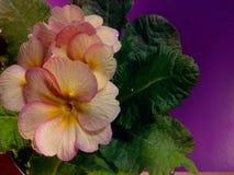 Primula vulgaris Immagine Stock