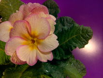 Primula vulgaris Fotografía de archivo