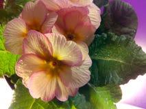 Primula vulgaris Immagini Stock