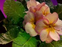 Primula vulgaris Fotografie Stock