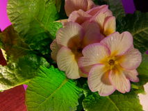Primula vulgaris Imagem de Stock Royalty Free