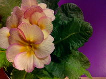 Primula vulgaris Foto de Stock Royalty Free
