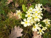 Primula vulgaris. Commn wild primrose, aka P. acaulis Stock Photography