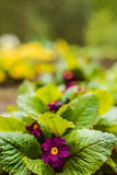Primula vulgaris Stock Photo