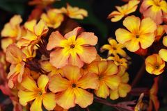 Primula vulgaris in orange color, but they are available in various colors Royalty Free Stock Images