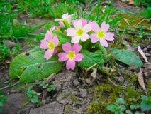 Primula vulgaris, pierwiosnek w ogródzie obraz stock