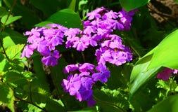 Primula w wiosna ogródzie obrazy royalty free