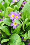 Primula woronowii Losinsk. Royalty Free Stock Images