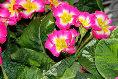 Primula x polyantha 'Supernova Mix' Royalty Free Stock Photos