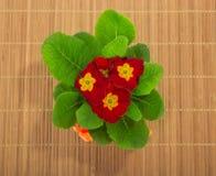 Primula zamknięty up zdjęcia stock