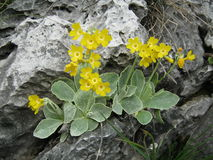 Primulaauricula Royalty-vrije Stock Afbeeldingen
