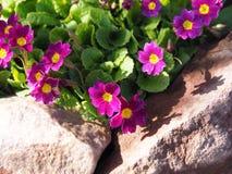 Primulablomma i en stenig trädgård royaltyfri bild