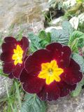 Primulaceae Fotografia Stock