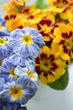 Primulahortensis, primoses, vroege de lentebloemen in bloei stock foto's