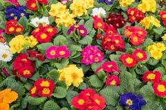 Primulainstallaties die in close-up bloeien Stock Afbeelding