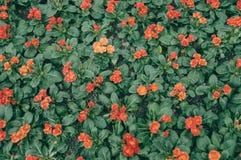 Primulamalacoides royaltyfria foton