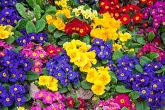 Primulas σε ένα πάρκο της Ιστανμπούλ Στοκ Εικόνες