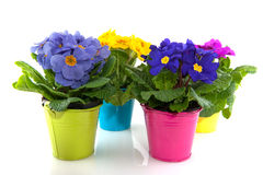 Primulas Royalty Free Stock Image