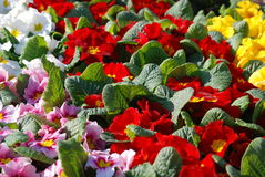 Primulas Royalty Free Stock Images