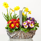 Primulas. Basket of Spring Flowers Stock Photography